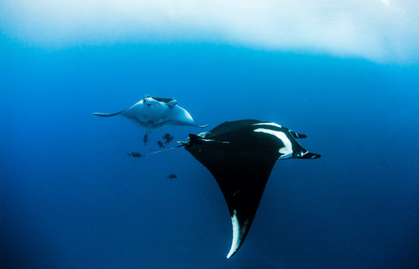 MANTAS AND DOLPHINS DIVE
