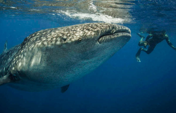 whale-shark-tour-holbox