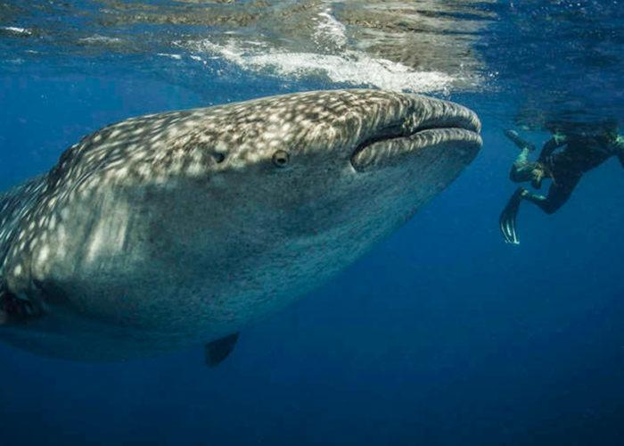 whale-shark-tour-holbox