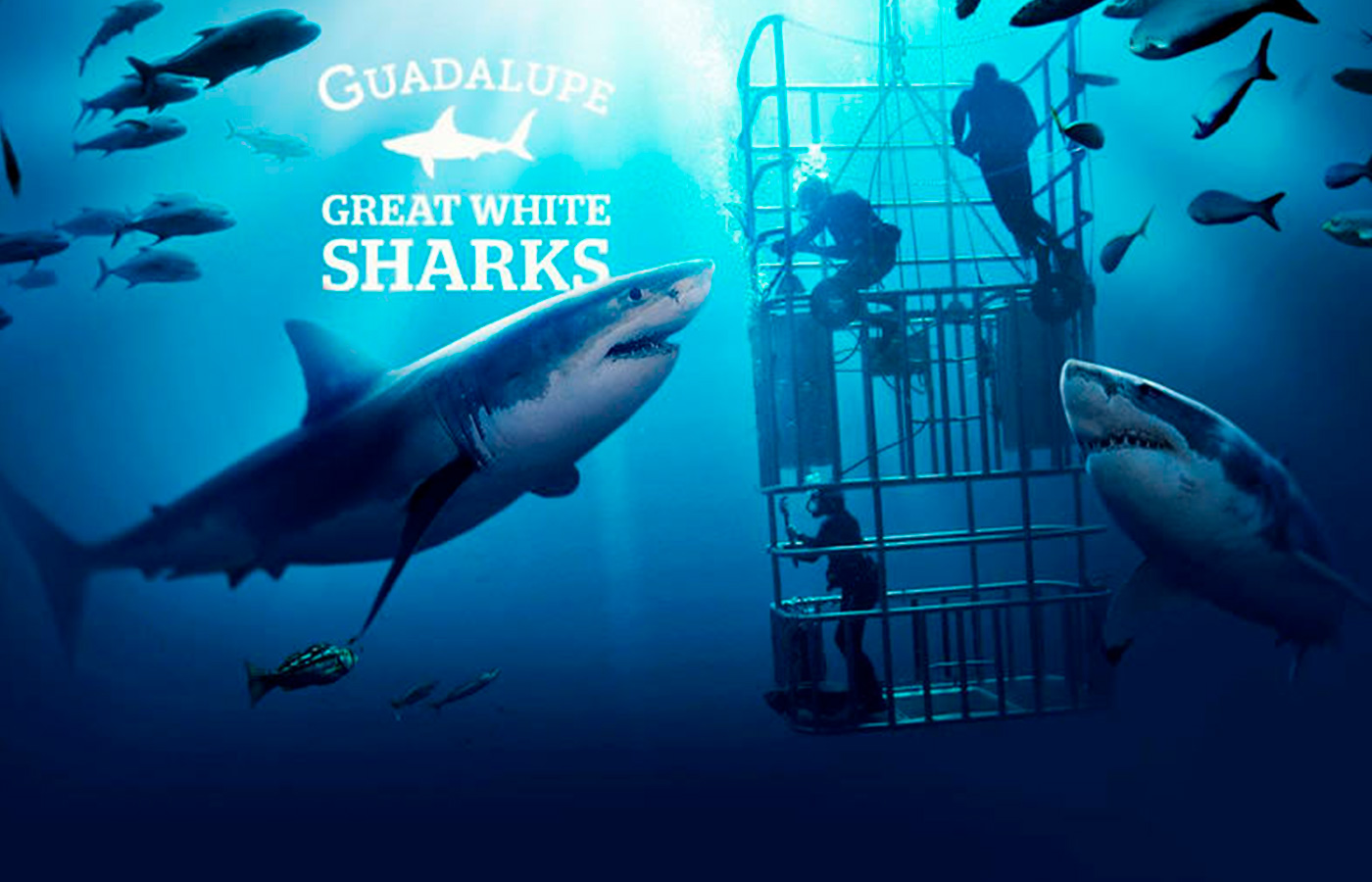 white shark diving guadalupe island