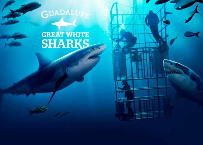 buceo tiburon blanco isla guadalupe